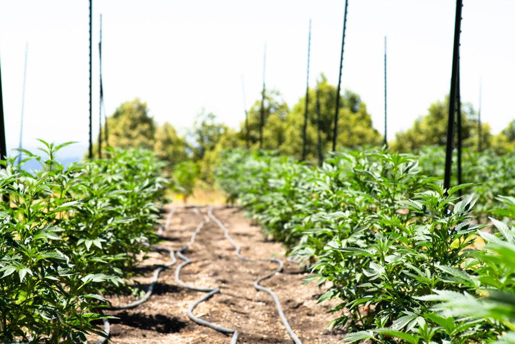 One of the Ways to Grow Cannabis - A Cannabis Farm Outdoors